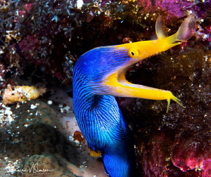 Adult male ribbon eel/Photographed with a Canon 60 mm mac... by Laurie Slawson