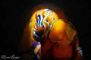Chromodoris strigata/Photographed with a Canon 60 mm macr... by Laurie Slawson