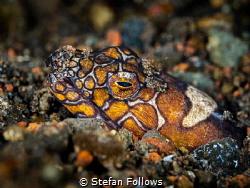 DT's  Napoleon Snake-eel - Ophichthus bonaparti  Bali... by Stefan Follows