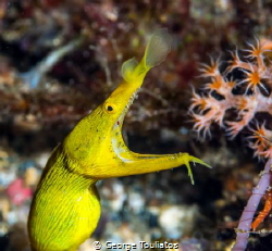 Yellow Ribbon Eel!!! by George Touliatos