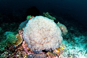 Bubble Coral/Photographed with a Tokina 10-17 mm fisheye ... by Laurie Slawson