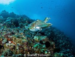 Blue Day  Reef Cuttlefish - Sepia latimanus  Bali, In... by Stefan Follows