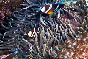 Clark's Anemonefish in Anemones/Photographed with a Canon... by Laurie Slawson