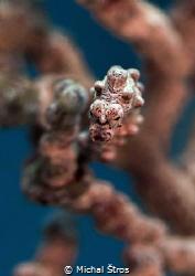 Pygmy seahorse by Michal Štros