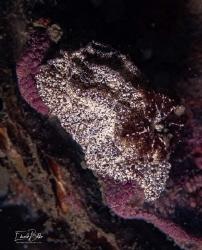 Bruine plooislak, gonidoris castanea by Eduard Bello