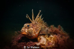 Gurnard Perch under the lovely Busselton Jetty, Western A... by Jo Watson