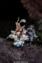 Harlequin shrimp (Hymenocera picta) by Oksana Maksymova