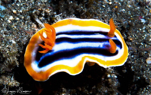 Chromodoris magnifica/Photographed with a Canon 60 mm mac... by Laurie Slawson