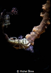 Coral shrimp Pontonides ankeri by Michal Štros