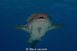 Nurse shark, swimming towards the camera by Steve Laycock