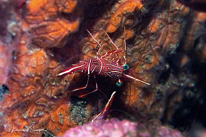 Dancing Shrimp/Photographed with a Canon 60 mm macro lens... by Laurie Slawson