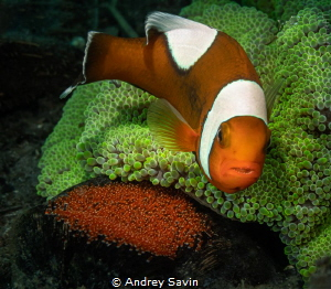 Anemonefish on egg by Andrey Savin