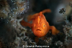 Tiny juvenile frogfish, size 5-7mm by Oksana Maksymova