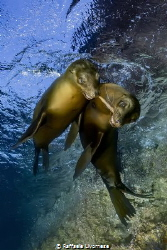 a couple of sealions playing with a piece of wood by Raffaele Livornese