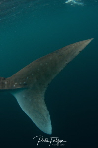 Whaleshark tail by Pieter Firlefyn