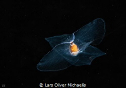 sea butterfly (Cymbulia peronii Blainville, 1818) by Lars Oliver Michaelis