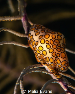 This is the Flamingo Tongue sea-snail. by Malia Evans