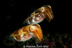 Cute cuttlefish couple. by Mehmet Salih Bilal