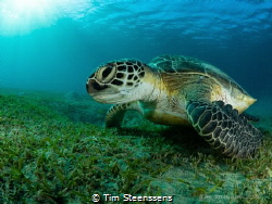 Green turtle in the bay of Abu Dabbab, Egypt. by Tim Steenssens