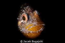 Male Cardinal Fish with Eggs Nikon D850 with Nauticam Ho... by Jacek Bugajski