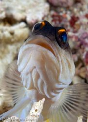 Another shot of the docile Jawfish from Raggy Armpit. by Dr Bob Whorton