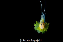 Soapfish during Black Water Diving - Anilao Photo Academy... by Jacek Bugajski