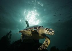 A regular visitor to a commonly dived site. Late afternoo... by Adam Laverty