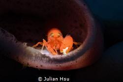 Snapping shrimp by Julian Hsu
