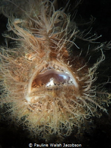 Striated (Hairy) Frogfish, Lembeh by Pauline Walsh Jacobson