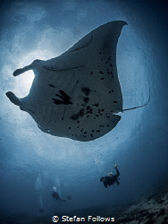 Manta Ray - Mobula alfredi