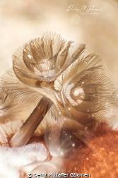 beatiful anilao , horseshoe worm by Deniz Muzaffer Gökmen