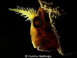 Parablennius gattorugine Left side back lighted by Cumhur Gedikoglu
