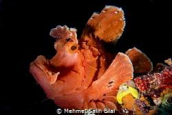 Rhinopias eschmeyeri. by Mehmet Salih Bilal