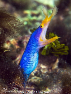 Male Ribbon Eel/Photographed with a Canon 100 mm macro le... by Laurie Slawson
