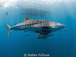 Sidewinder   Whale Shark - Rhincodon typus  Sail Rock... by Stefan Follows