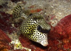Are you looking at me? Spotted trunkfish - Utila, Bay Isl... by Lisa Armstrong