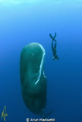 Freediver and Sperm Whale. (image taken under permit) by Arun Madisetti