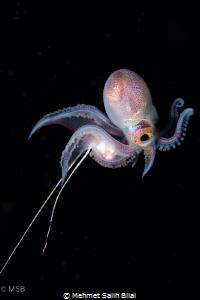 Male blanket octopus. by Mehmet Salih Bilal