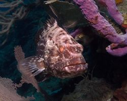 Roatan grouper. Fuji F810, YS-90DX. by Jennifer Temple