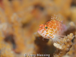 Little hawksfish by Joerg Blessing