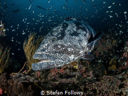 XL  Malabar Grouper - Epinephelus malabaricus  Sail R... by Stefan Follows