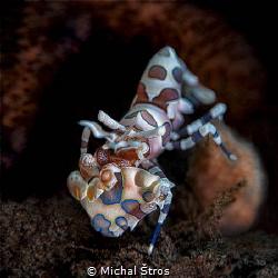 Harlequin shrimp by Michal Štros