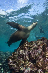 Sea Lion playing with Us, Bahia Magdalena Mexico by Alejandro Topete