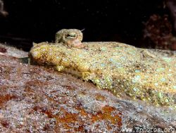 Flounder on close approach by Zaid Fadul