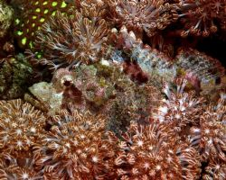 Try to find me now. Well hidden Papuan Scorpian Fish. Nik... by Patrick Burke