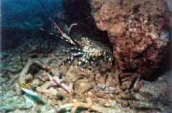 Painted Cray out and about, Bundegi reef, Exmouth. MX10 W... by Natasha Tate