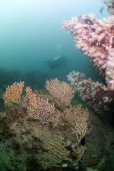 Pink sea fans. Cornwall. D200, 10.5mm. by Derek Haslam