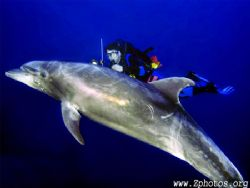 Mark + a wild bottlenose dolphin. He took us down to 130 ... by Zaid Fadul