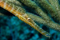 Laying in Wait. Trumpetfish awaits prey on Little Cayman'... by Allan Vandeford