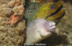 Gymnothorax griseus and Gymnothorax undulatus by Simon Gardener